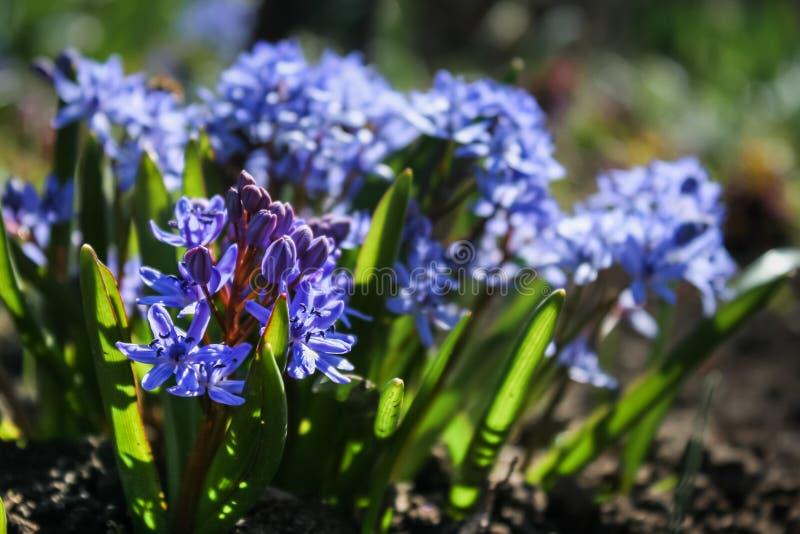 De första vårblommorna, blåa blommor växer i ängen royaltyfria bilder
