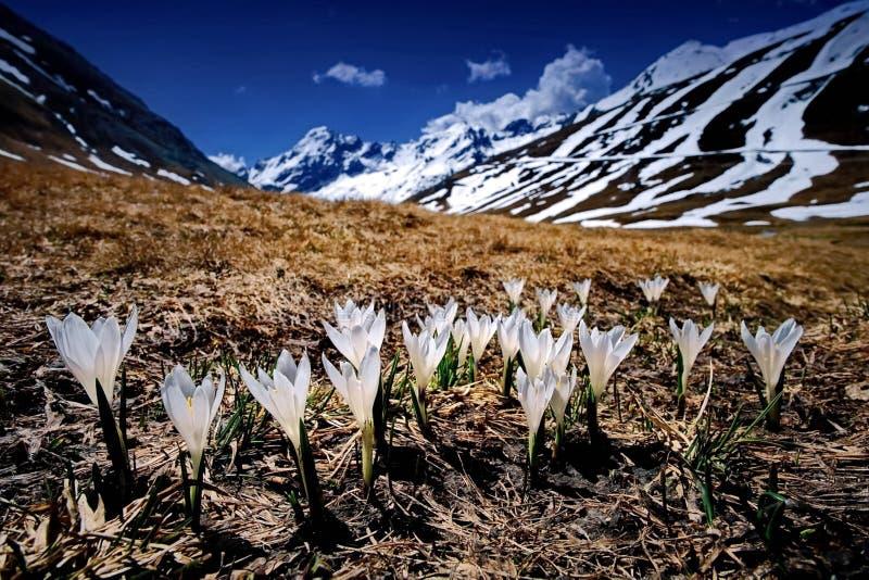 De första vårblommorna mot bakgrunden av de snöig kullarna av Kamchatka closeup Dal av Geysers royaltyfri bild