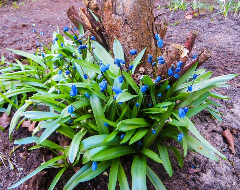 De första vårblommorna - små blåa Scylla blommor Vårbakgrund av blommor royaltyfri foto