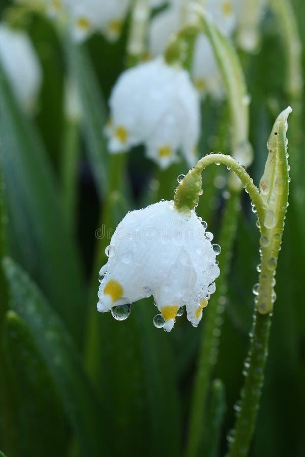De första vårblommorna, snödropparna och krokusarna med droppar efter regn, royaltyfria bilder