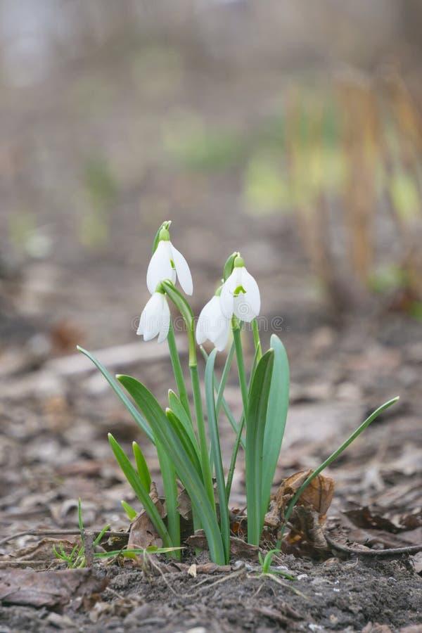 De första vårblommorna stillar vitt trä för snödroppar på våren royaltyfria foton