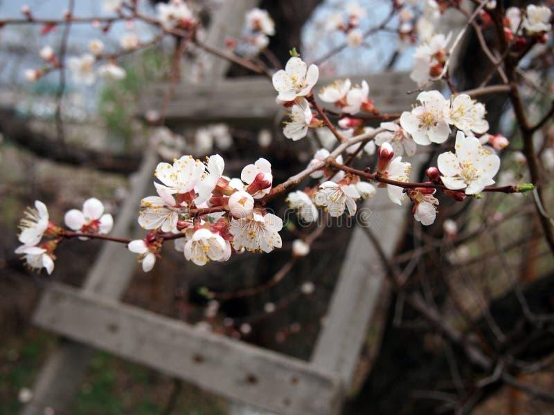 De f?rsta blommorna av aprikostr?det royaltyfri bild