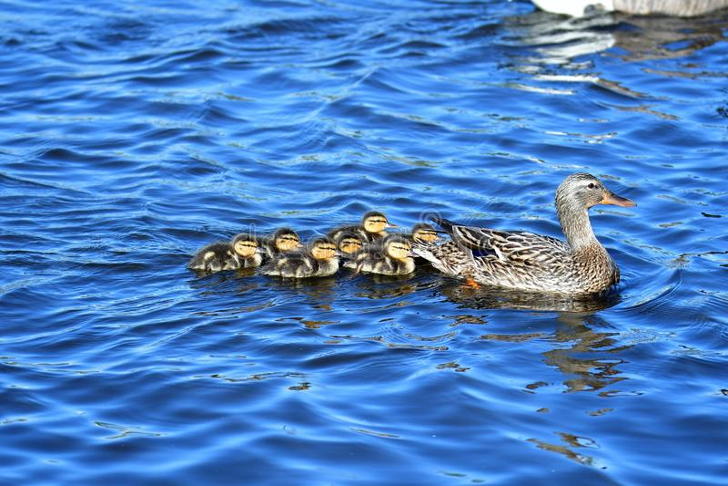 De familie die van de wilde eendeend op het meer zwemmen stock afbeelding