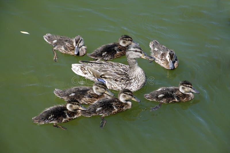 De familie is een eend en zijn eendjes Vijver met een zonnige dag en watervogels stock afbeeldingen