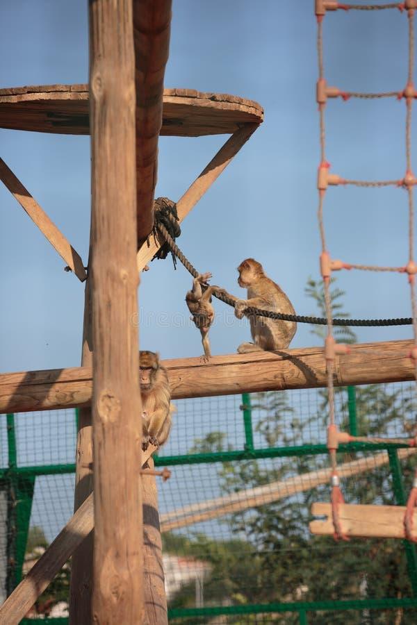 De familie van de aap stock foto