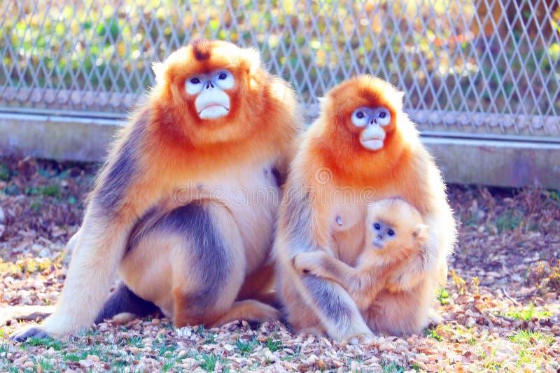 De familie van de aapkoning royalty-vrije stock foto