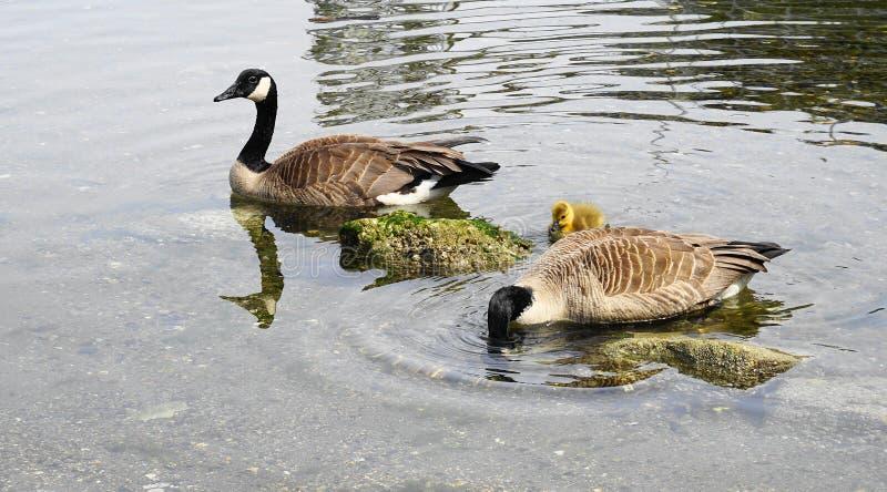 De familie van Canadese ganzen met jong gansje met geel gevederte zwemt in water dichte omhooggaand stock afbeelding