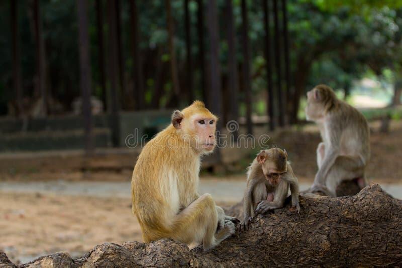De familie van de aap stock foto's