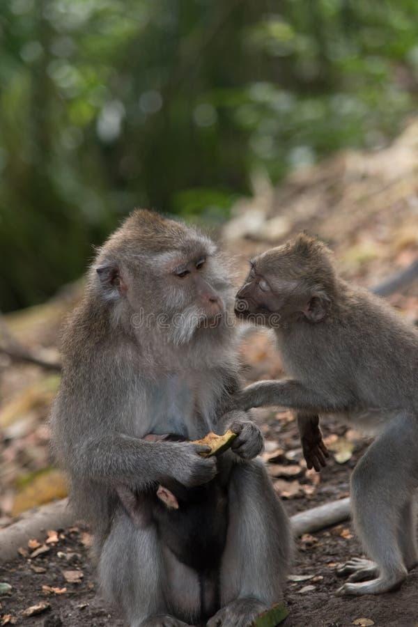 De familie van de aap royalty-vrije stock afbeelding