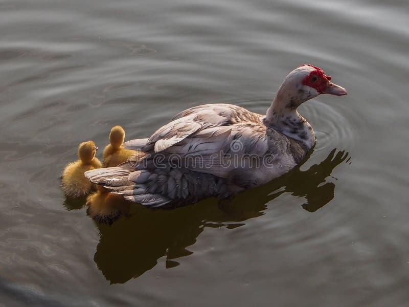 De familie van de eend stock afbeelding
