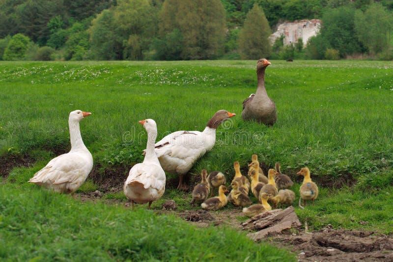 De familie van de gans royalty-vrije stock afbeelding
