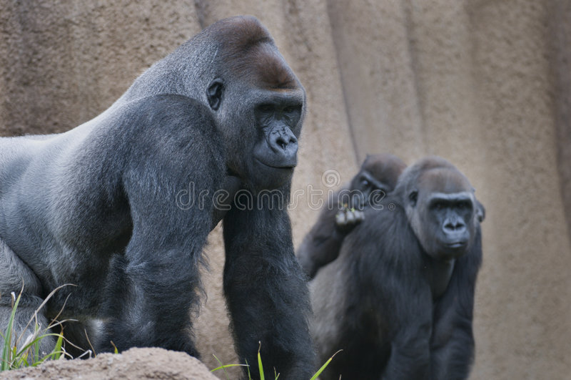 De familie van de gorilla stock foto