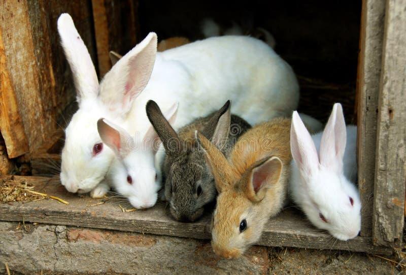 De familie van de Konijnen van het konijntje stock afbeeldingen