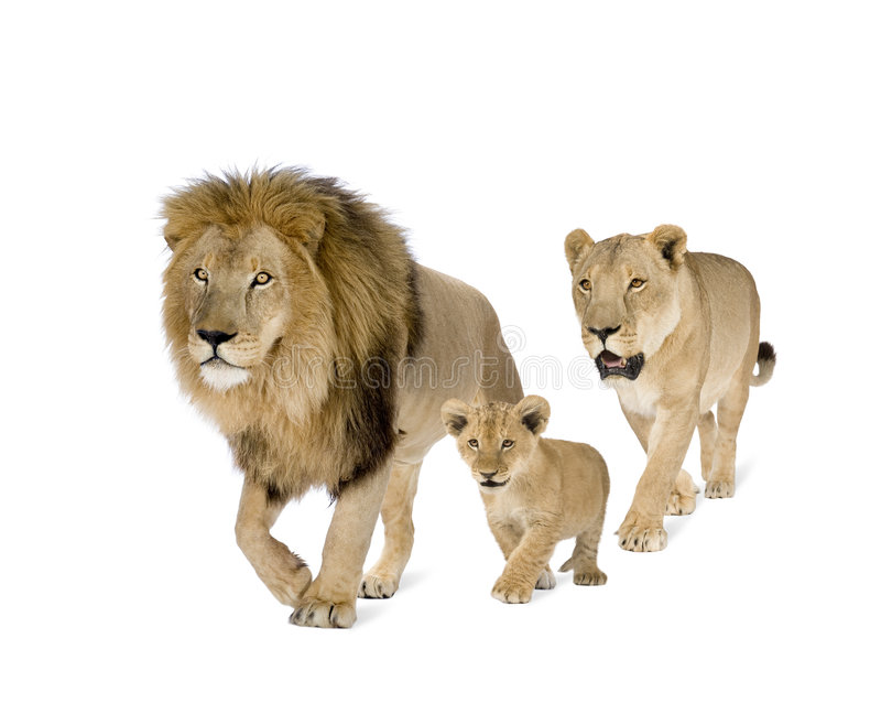 De familie van de leeuw stock fotografie