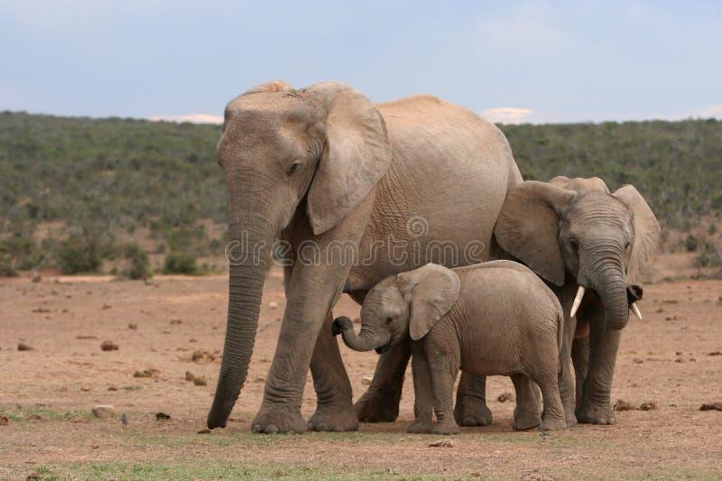 De Familie van de olifant stock afbeelding