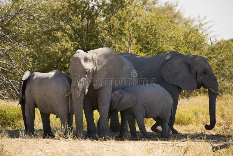 De familie van de olifant royalty-vrije stock afbeelding