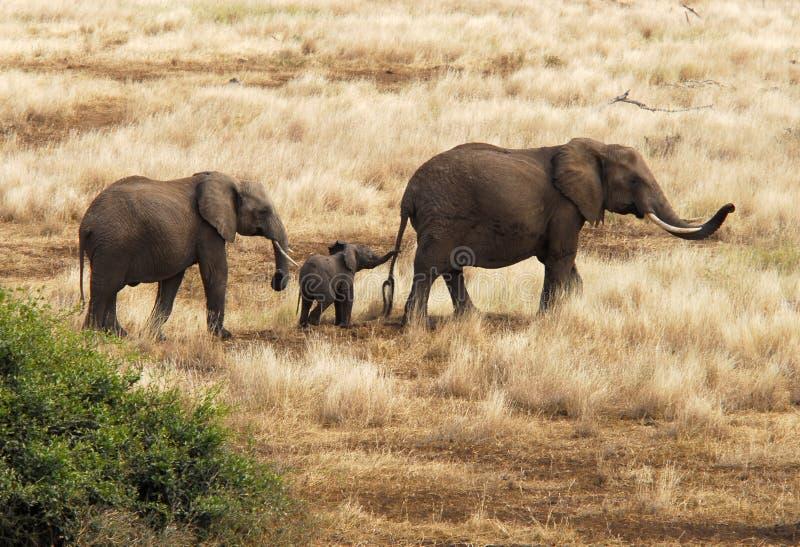 De familie van de olifant stock foto's