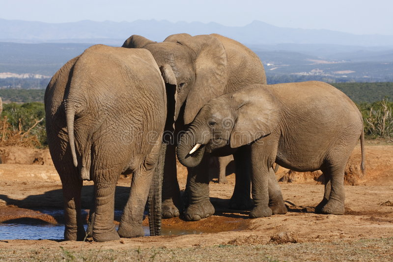 De familie van de olifant het verzamelen zich royalty-vrije stock foto