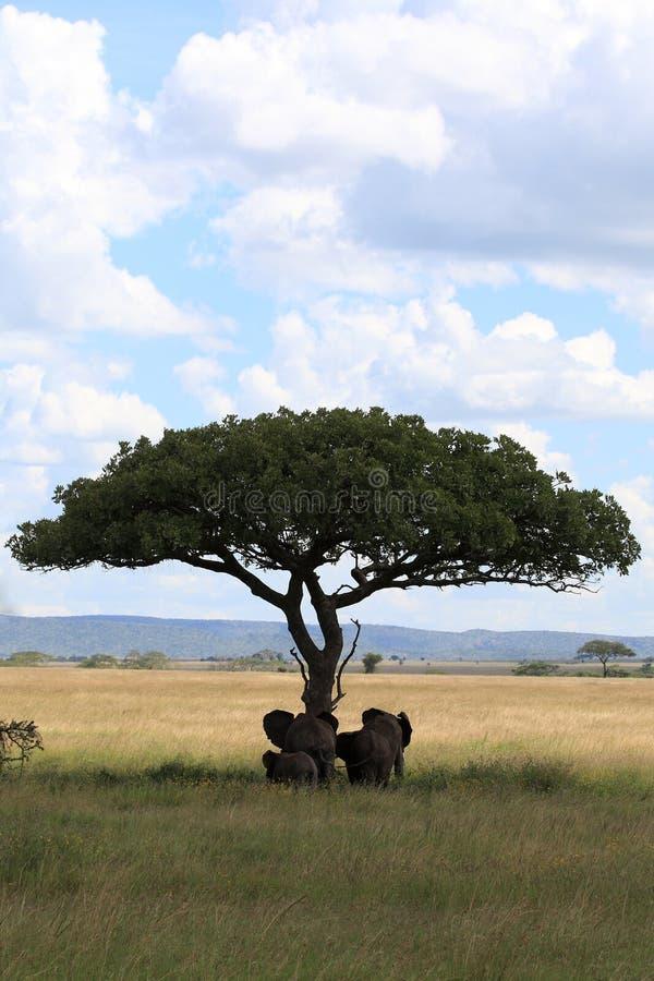 De familie van de olifant onder parapluacacia royalty-vrije stock fotografie