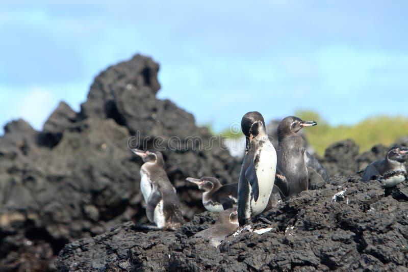 De familie van de pinguïn in de wildernis, de Eilanden van de Galapagos royalty-vrije stock fotografie