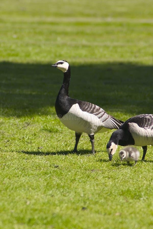 De familie van de vogel stock afbeelding