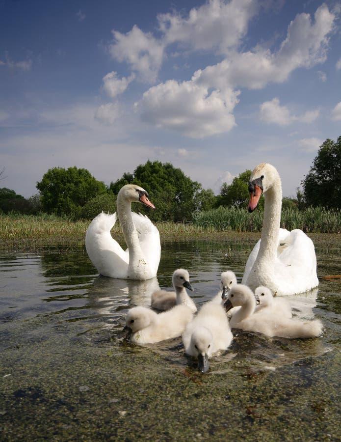 De familie van de zwaan stock foto's