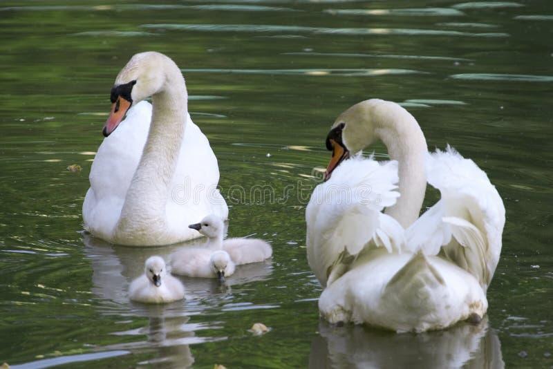 De familie van de zwaan royalty-vrije stock fotografie