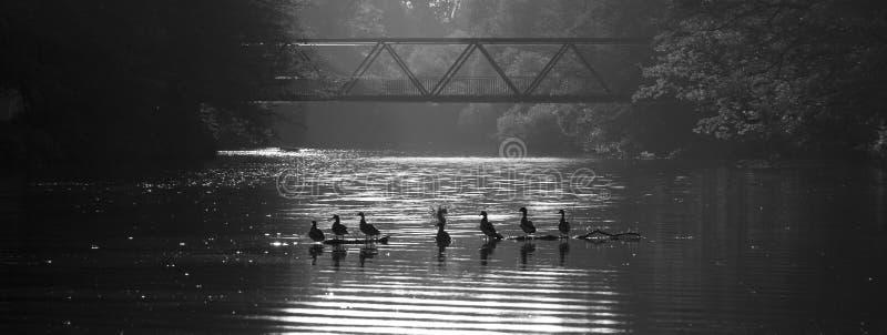 De familie van eenden ontspant op water royalty-vrije stock fotografie