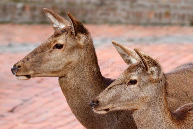 Download De familie van herten stock foto. Afbeelding bestaande uit paar - 29505334