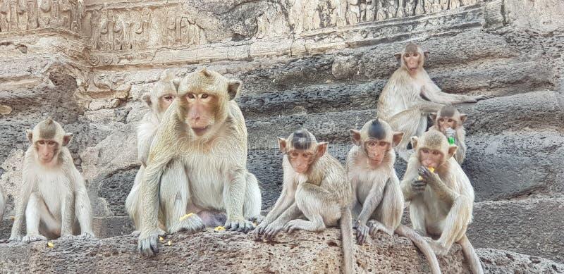 de familie van de lopburiaap royalty-vrije stock afbeeldingen
