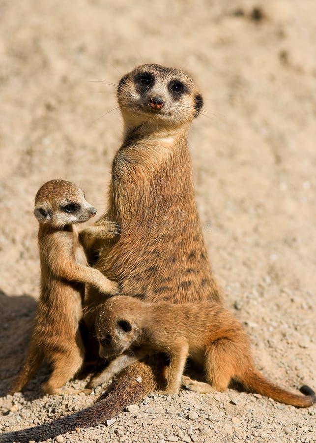 De Familie van Meerkat stock afbeelding
