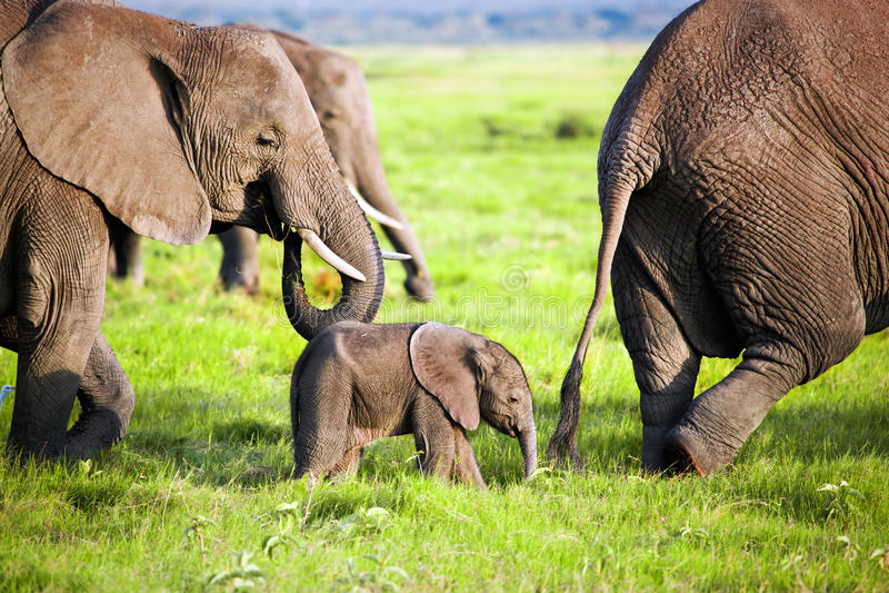 De familie van olifanten op savanne. Safari in Amboseli, Kenia, Afrika royalty-vrije stock fotografie
