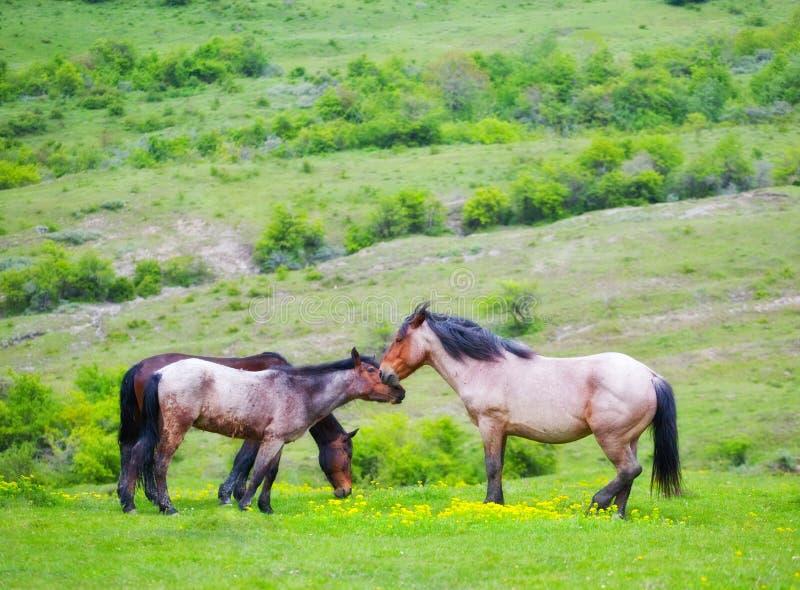 De familie van paarden het weiden stock afbeelding