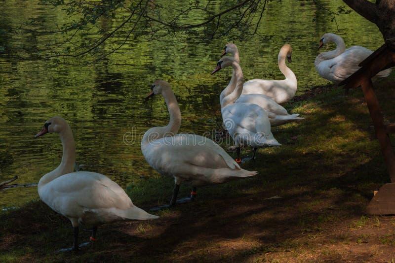 De familie van de witte zwaan dichtbij de rivier met groen water, binnenlandse de zomertijd Zwaanclose-up stock afbeeldingen