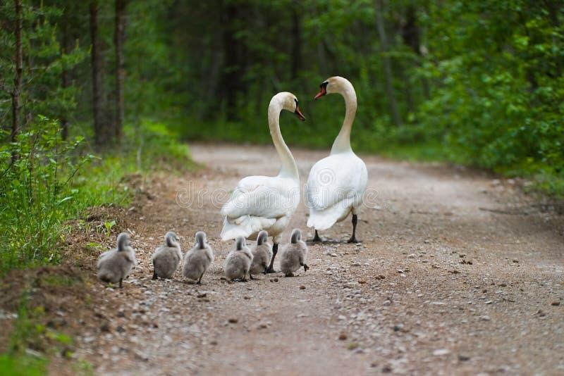 De familie van zwanen stock foto