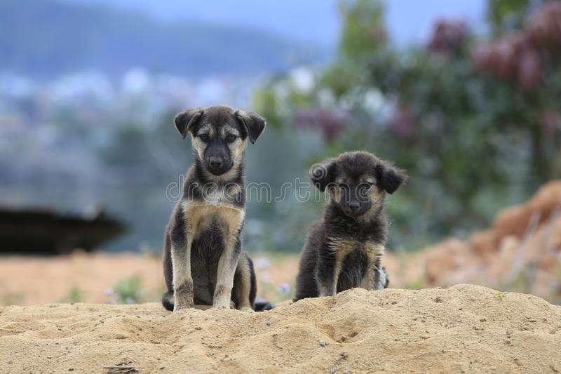 De familiehonden leven en spelend in zand†‹â€ ‹hoop, hond levende semi wildernis in binnenland bosdeel 19 royalty-vrije stock afbeelding