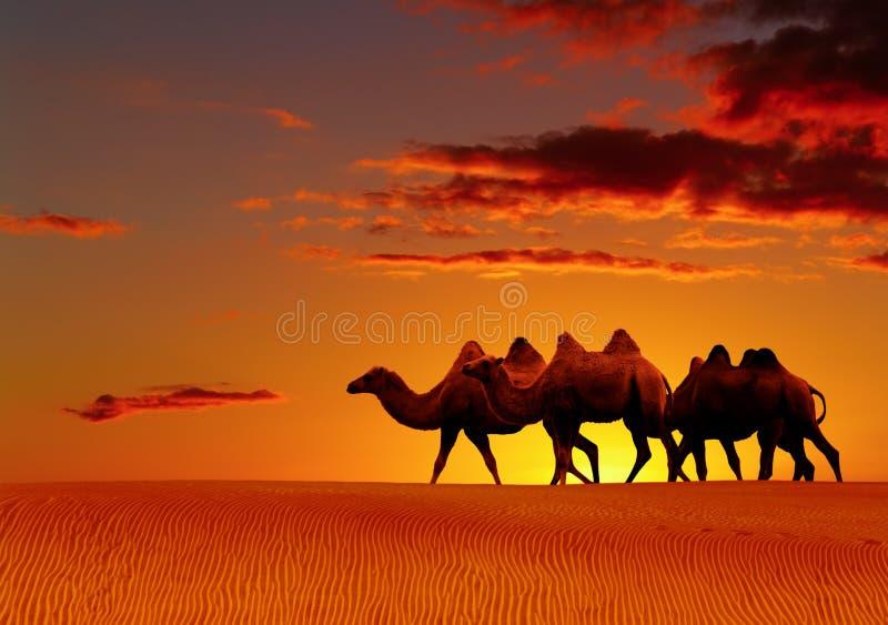 De fantasie van de woestijn, kamelen het lopen stock foto's