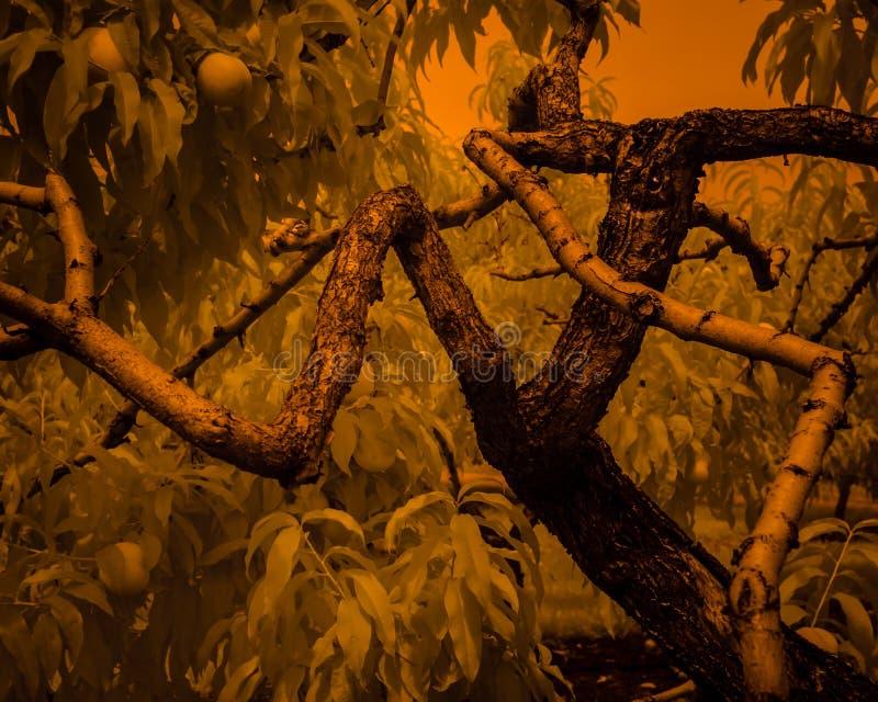 De fantastical gelukkige, gekke dansende abrikozenboom met wilde ogen neemt een lange langzame motiepas in de boomgaard stock foto's