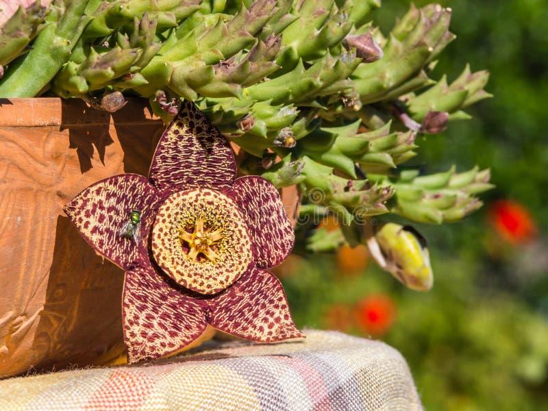 De fantastische bloem van orbeavariegata stock foto