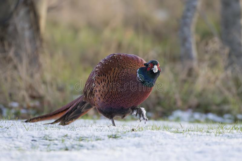De fazant, sluit omhoog, portret, weidend bij gras en sneeuw het voeden tijdens de winter, januari, in Schotland stock fotografie
