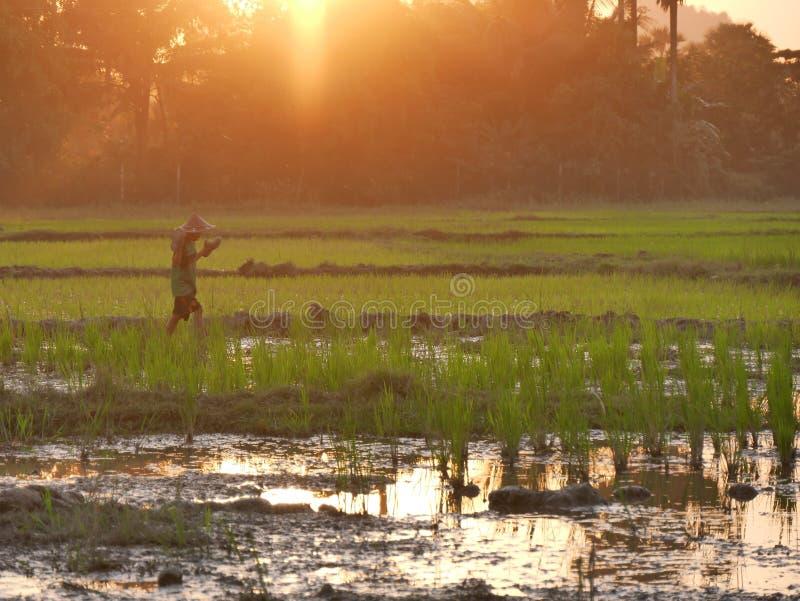 4 de febrero de 2017, Hpa-an Myanmar - muchacho asiático joven que camina a través de campo del arroz imagenes de archivo