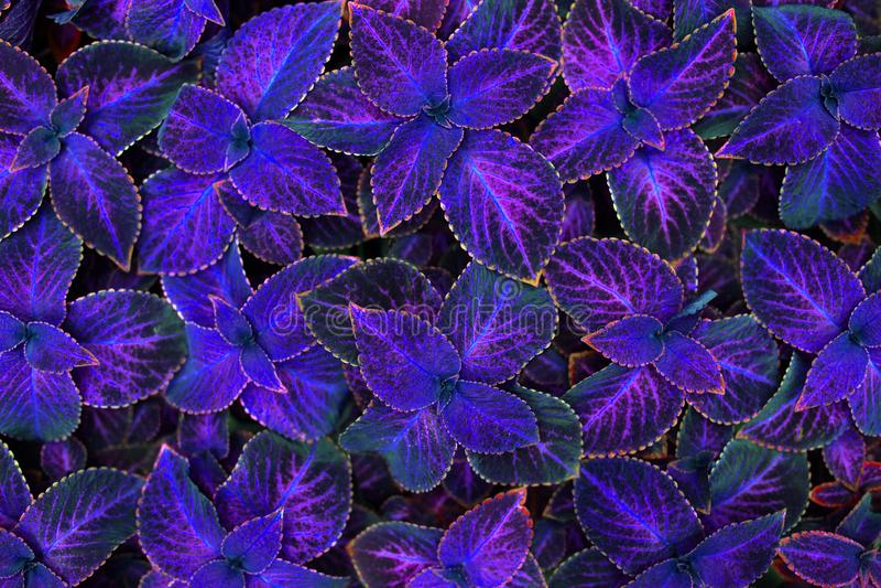 De feuilles pourpres de coleus fin décorative foncée de fond, roses et noires, usine d'ortie peinte, texture violette lumineuse d image libre de droits