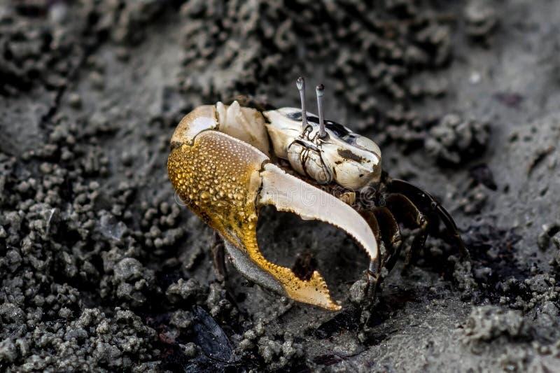 De Fiddler de los cangrejos ojos de largo fotografía de archivo libre de regalías