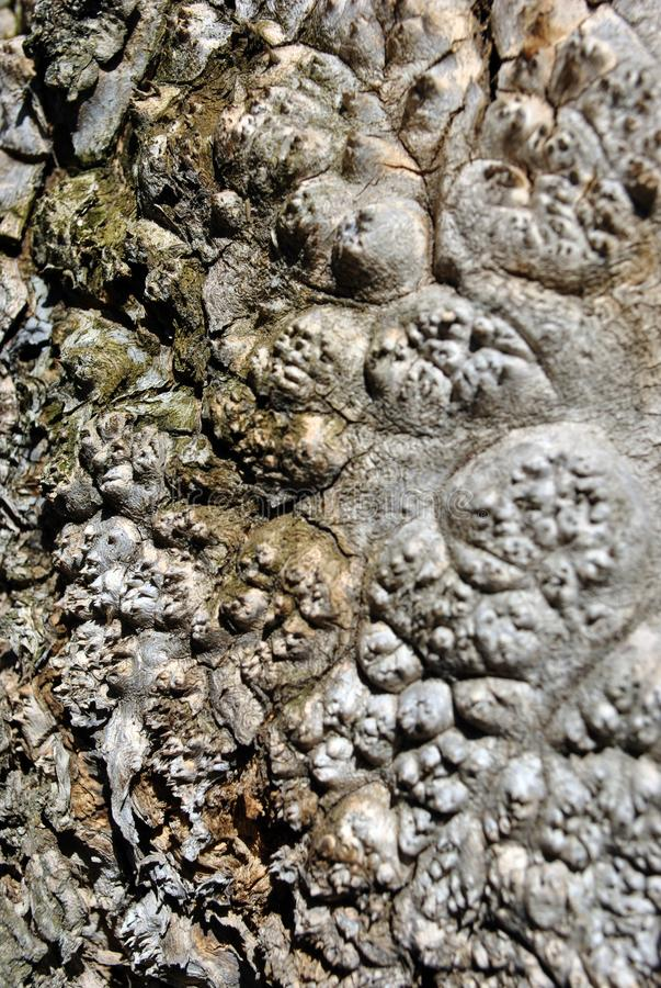 De fin étrange de texture de racine d'arbre d'érable  photo libre de droits
