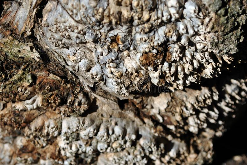 De fin étrange de texture de racine d'arbre d'érable vers le haut de détail photos stock