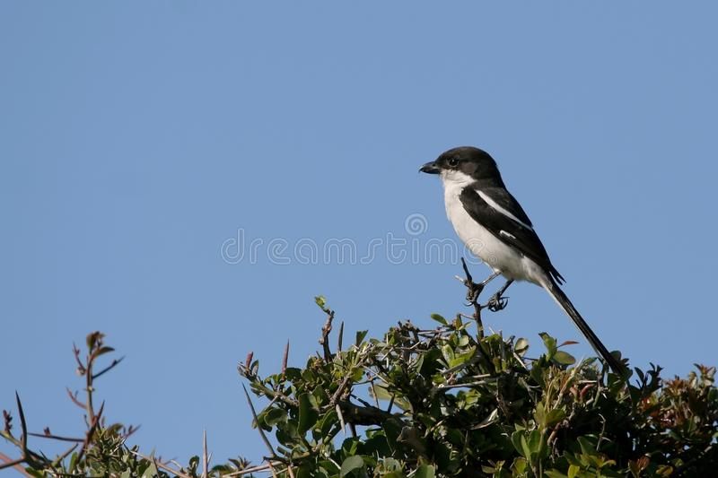 Download De Fiscale Vogel Van Het Klauwier Stock Foto - Afbeelding bestaande uit mooi, klauwen: 10782706
