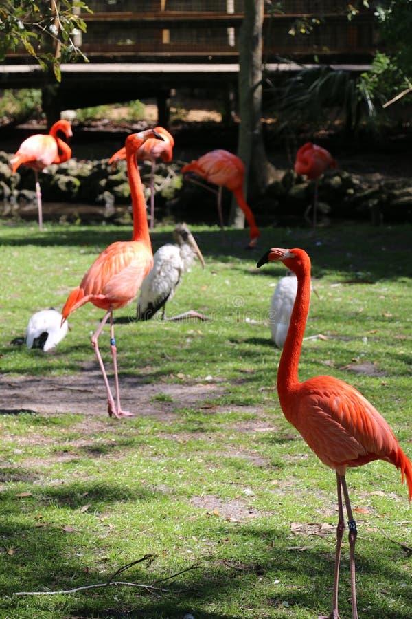 De Flamingo's Strutting van Florida in Homosassa-de Lentes royalty-vrije stock afbeeldingen