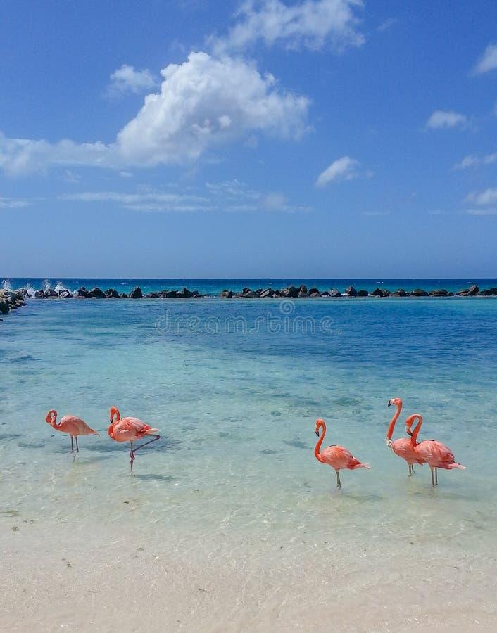 De Flamingo van Aruba stock foto's