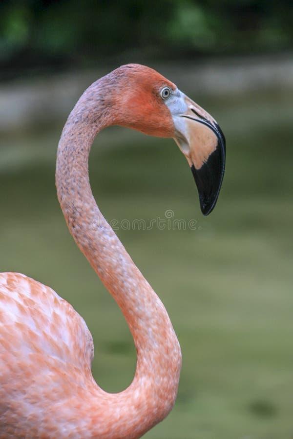 De Flamingo van de Bıgbek royalty-vrije stock fotografie