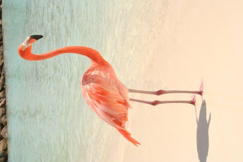 De Flamingo van het strand stock foto